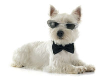 West highland terrier. In front of white background royalty free stock photography