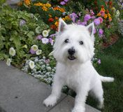 West highland terrier. In the garden stock photography