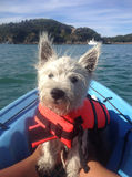 West highland terrier on kayak in lifejacket. West highland terrier puppy dog on a blue kayak wearing an orange lifejacket (life vest). Westie photographed in stock photo