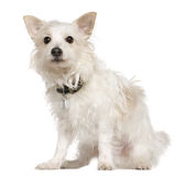 West Highland Terrier mixed with a Papillion dog. 5 years old, sitting in front of white background royalty free stock photo