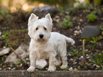West Highland terrier. West Highland terrier - Portrait. Russia stock image