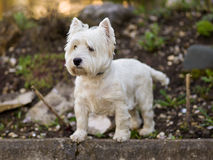 West Highland terrier. West Highland terrier - Portrait. Russia royalty free stock photo