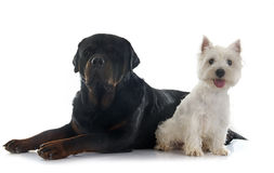 West highland terrier and rottweiler Stock Images