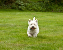 West Highland Terrier. Running in the garden royalty free stock photo