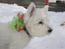 West highland terrier Stock Images