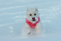 West highland terrier in snow Stock Photos