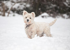 West Highland Terrier in the snow Stock Image