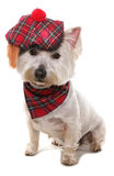 West highland terrier. Wearing a tartan hat royalty free stock image