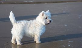 West Highland Terrier. Standing on a sandy beach royalty free stock photo