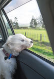 West highland terrier westie dog with head out of car window and. Wind in face, with rural scenery in New Zealand, NZ stock images