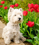 West highland terrier Stock Photography