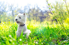 West highland terrier Royalty Free Stock Images