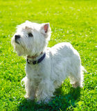 West highland terrier Royalty Free Stock Image
