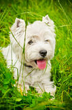 West highland terrier Stock Image