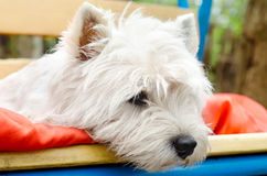 West highland terrier Stock Photo