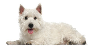 West Highland White Terrier, 10 months old Stock Images