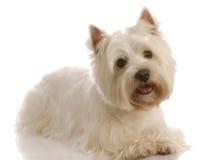 West highland white terrier stock photo
