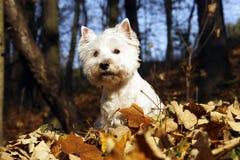 West Highland White Terrier. Autumn scene stock photography