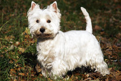 West Highland White Terrier. Autumn scene royalty free stock images