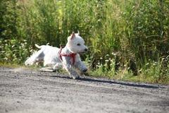 West Highland White Terrier. Running - outdoor scene Stock Image