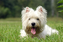 West highland white terrier. In the grass stock image