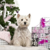 West Highland White Terrier, 2 years old Stock Images