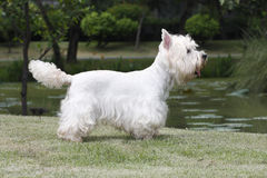 West highland white terrier. Cute West highland white terrier dog standing on grass filed close to the lake stock photos