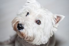 West Highland White Terrier. 5 years old Westie close-up Stock Images