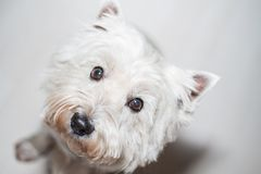 West Highland White Terrier. 5 years old Westie close-up Royalty Free Stock Photo