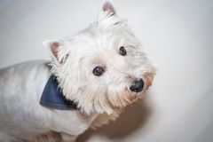 West Highland White Terrier. 5 years old Westie close-up Stock Image