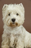 West Highland White terrier, 3 years old. Male sitting in studio isolated on brown background. This is a purebred dog. Image taken from front royalty free stock image