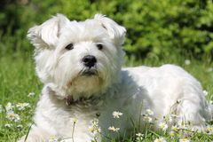 West Highland White Terrier stockbilder