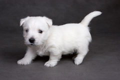 West Highland White Terrier. On grey background in studio royalty free stock image