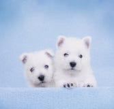 West Highland White Terrier. Puppies portrait Stock Photo