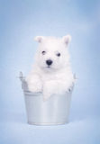 West Highland White Terrier. Puppy in the bucket potrait Stock Photos