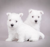 West Highland White Terrier. Puppies portrait Royalty Free Stock Photo