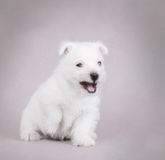 West Highland White Terrier. Angry West Highland White Terrier Puppyportrait Royalty Free Stock Images
