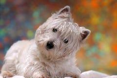 West Highland White Terrier Stock Image