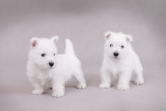 West Highland White Terrier. Puppies portrait Royalty Free Stock Image