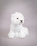 West Highland White Terrier. Portrait Stock Images