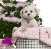 West Highland White Terrier, 6 years old Stock Photography