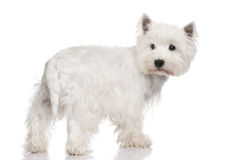 West Highland White Terrier () Royalty Free Stock Photos