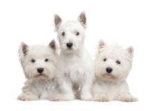 West Highland White Terrier Stock Image
