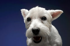 West Highland White Terrier in a blue background. West Highland White Terrier in  blue background Stock Photos