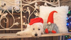 West highland white terrier in Christmas interior room. stock footage