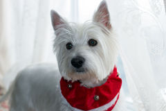 West Highland White Terrier. Christmas portrait of an adorable white dog,Westie,with red collar and bells Stock Photos
