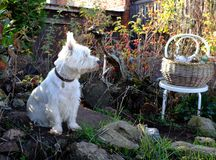 West Highland White Terrier dog in autumn garden