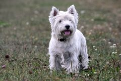 West highland white terrier dog breed, stand on the green grass. In the evening on the nature, small black eyes looking away, white hair, cute animal stock images