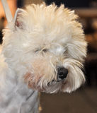West highland white terrier dog Stock Image