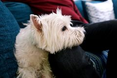 West Highland White Terrier dog enjoys company of his owner sitting on couch together and petting lovely dogs. royalty free stock images